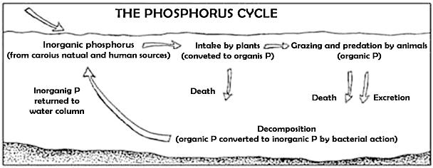 phosphorus cycle plants diagrams diagrams 2 phosphorus. Black Bedroom Furniture Sets. Home Design Ideas