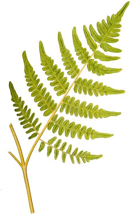 bracken pteridium aquilinum   plants  fern  bracken clip art planets solar system clip art plants and flowers