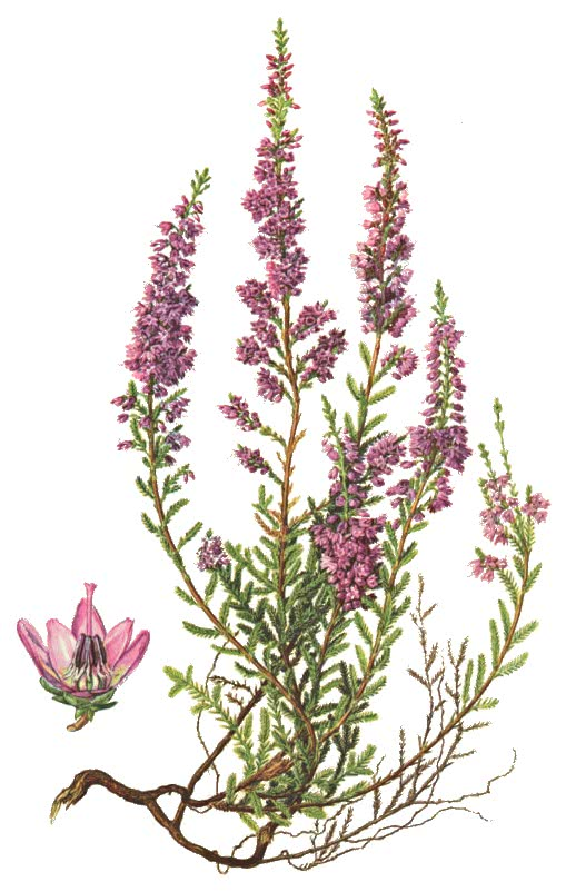 common heather calluna vulgaris   plants  flowers   h clip art flowers roses clipart flowers to print