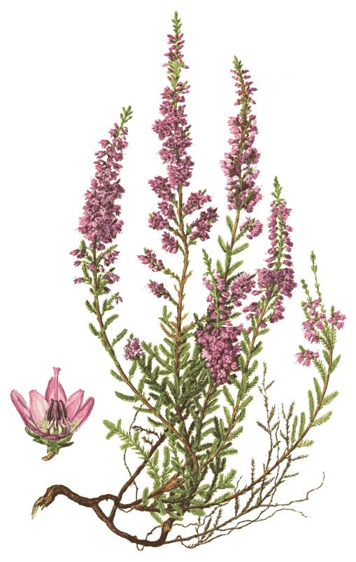 common heather calluna vulgaris plantsflowersh