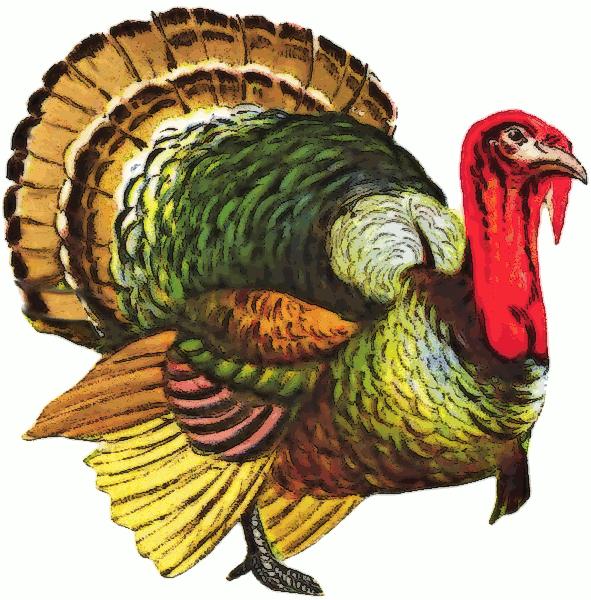 wild turkey live wallpaper