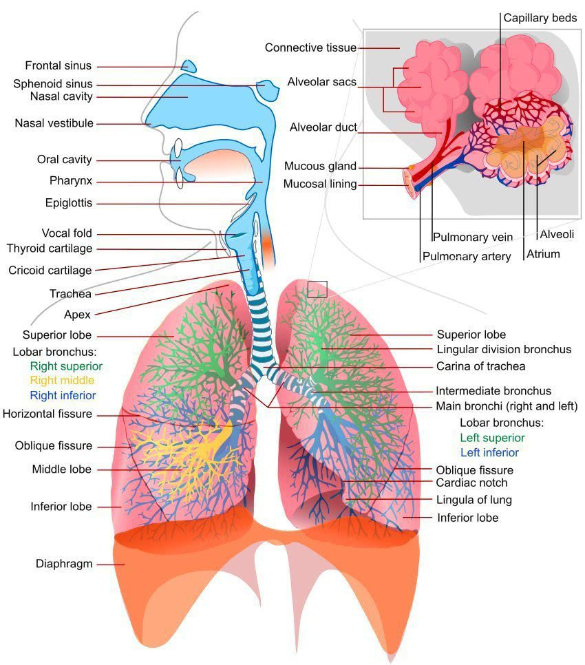 Respiratory system complete - /medical/anatomy/Respiratory ...