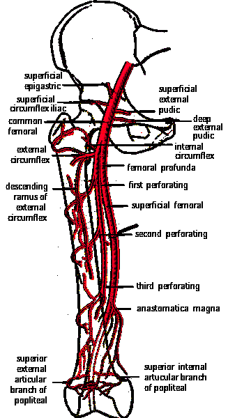 FEMORAL ARTERY AND BRANCHES IN