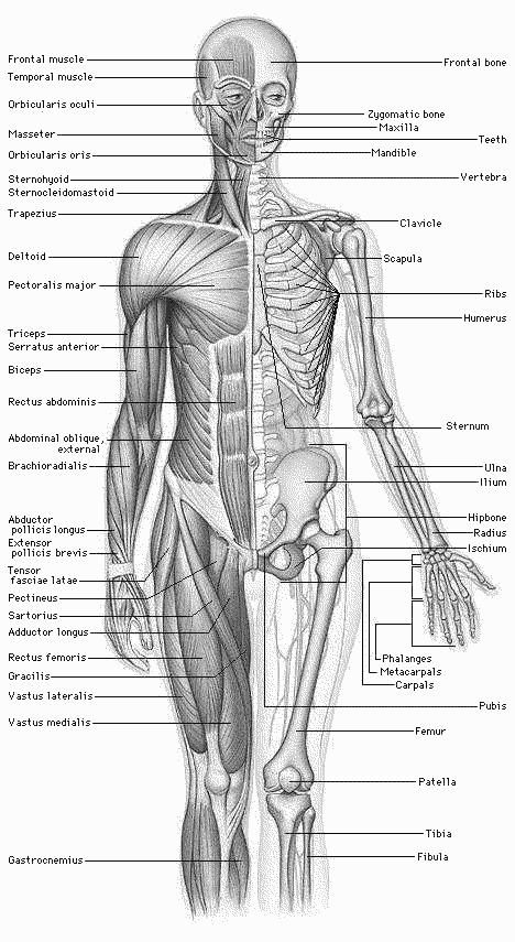 See Google docs and WPClipart for a brief howto body human body human