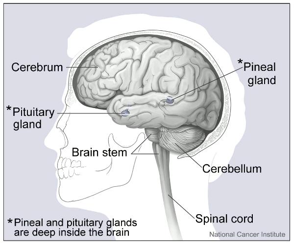 Major parts of the Brain medical anatomy brain Major