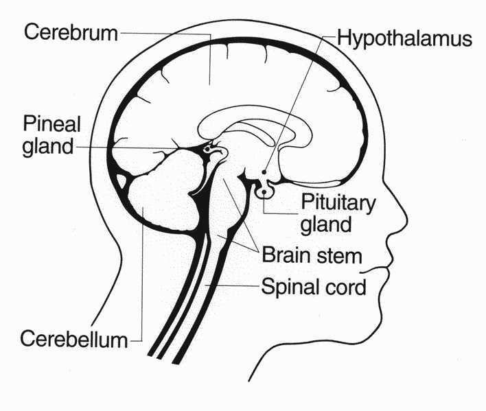 brain diagram 1  medical  anatomy  brain  brain diagram 1