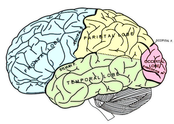 four lobes of the cerebral cortex