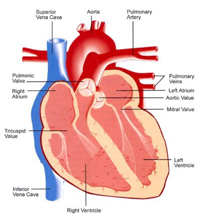 Cbse papers questions answers mcq cbse class 7 science human heart ccuart Choice Image