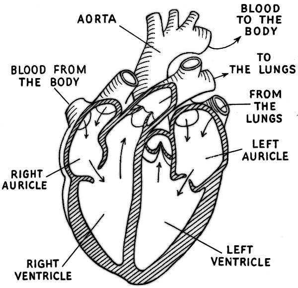 heart diagram labeled  medical  anatomy  heart  heart