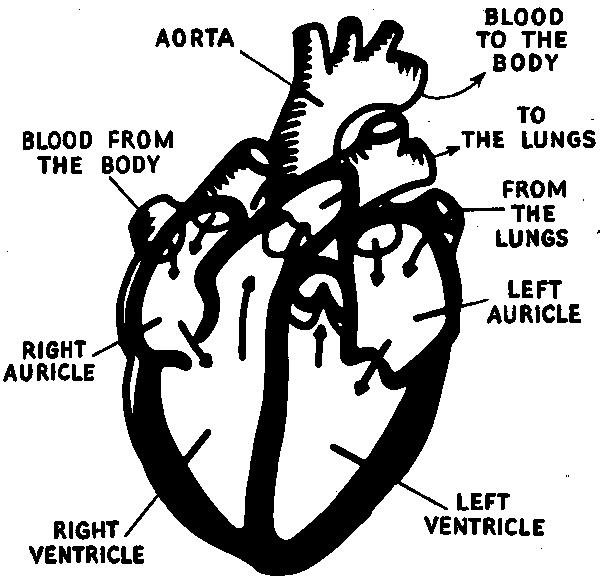 heart diagram labeled public