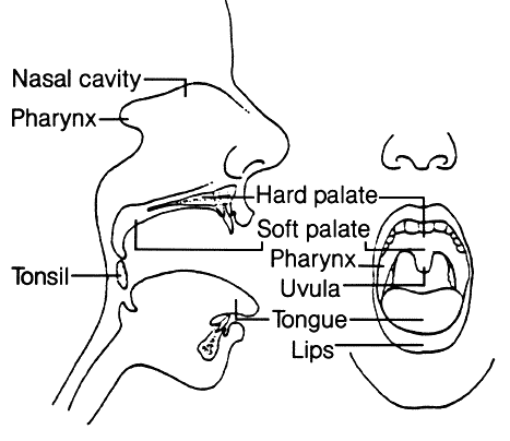 C2ltcGxlIG1vdXRoIGRpYWdyYW0 as well Zoology Unit 3 Phylum Platyhelminthes Flash Cards moreover Body Organisation additionally Teeth Diagram Labeled also Blank Digestive System Diagram. on mouth digestive system parts