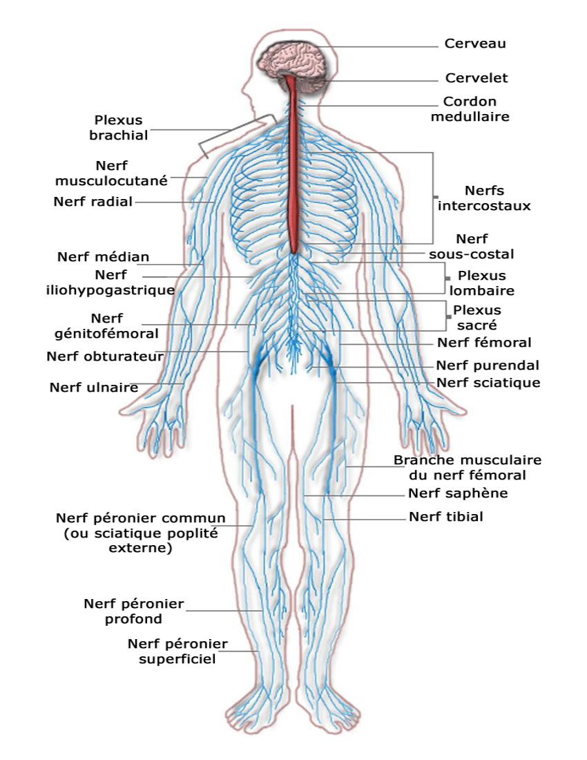 Nervous system diagram french - /medical/anatomy/nervous_system ...