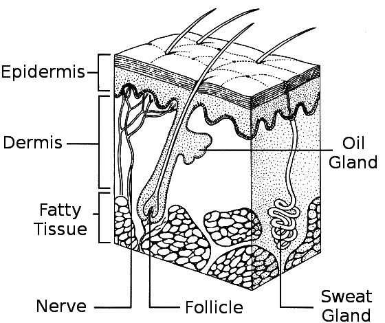 skin diagram - /medical/anatomy/skin/skin_diagram.png.html