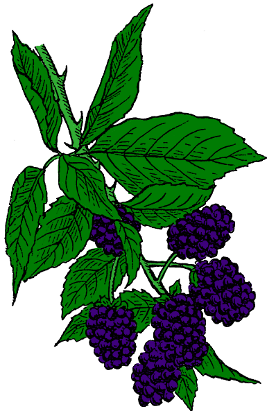Blackberry - /plants/assorted/B/Blackberry.png.html