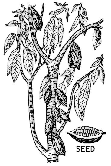 Cacao Plant W Pods Bw Plants Assorted C Cacao Plant W