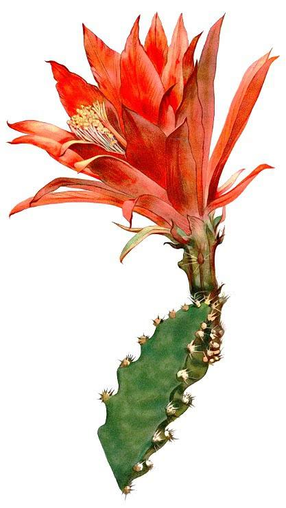 Heliocereus Elegantissimus Plants Cactus Cactus 2