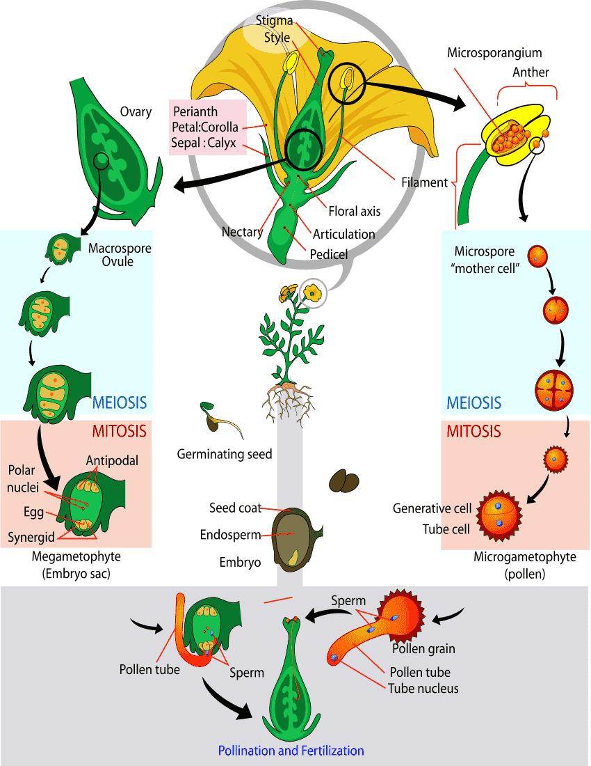Angiosperm Life Cycle Diagram  Plants  Diagrams