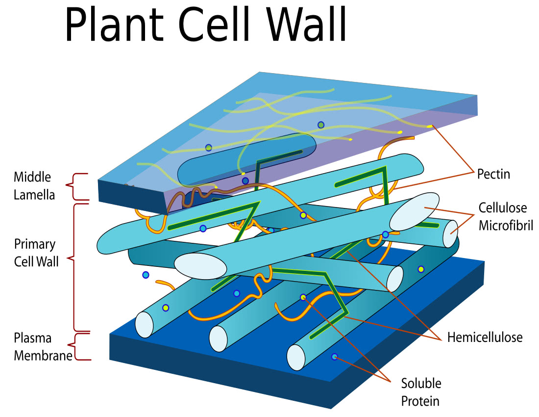 Plant cell wall diagram - /plants/diagrams/Plant_cell_wall_diagram ...