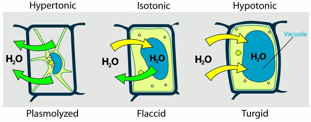 Turgor pressure on plant cells diagram