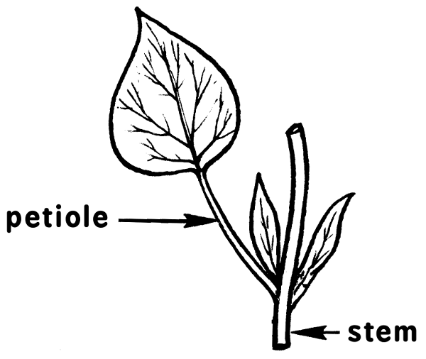 petiole stem  plants  diagrams  plant parts  petiole stem