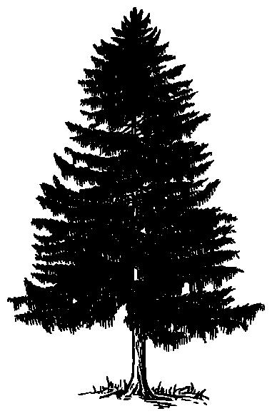 Evergreen tree BW - /plants/trees/evergreen/Evergreen_tree ...